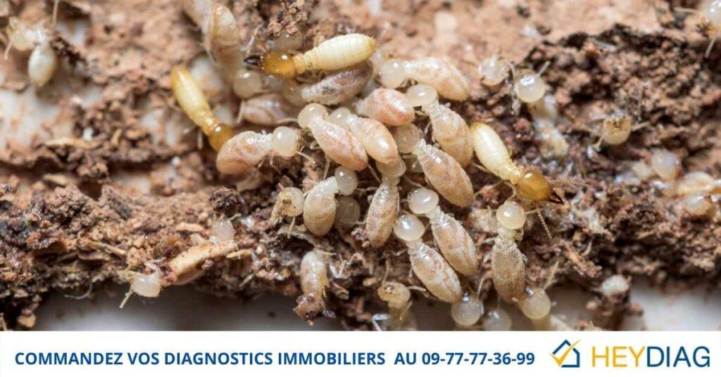Diagnostic Termites Vente